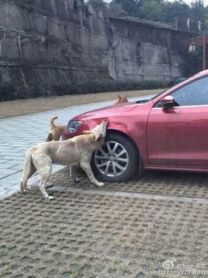 为报复被车主踢 重庆流浪狗找同伴咬汽车