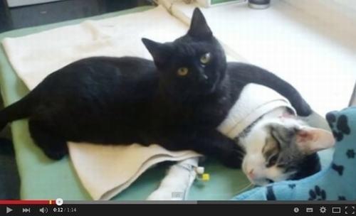 波兰猫咪当护士 在收容所照顾动物